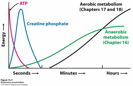 what is creatine phospate
