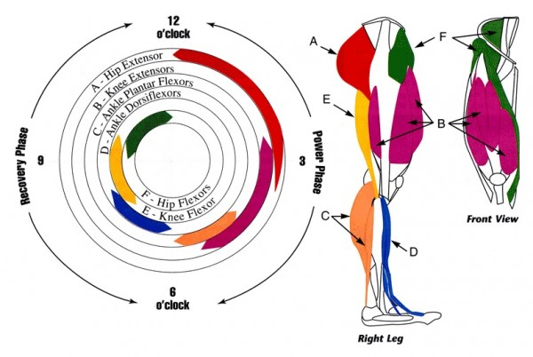 what muscles do you use when cycling